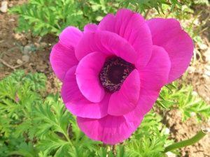 Bunga Anemone Fuchsia
