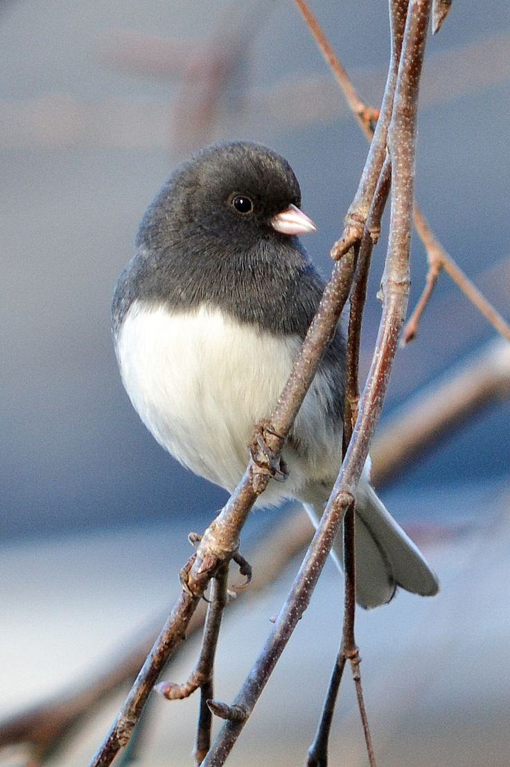 Dark-eyed Junco. Photo: Laura Sprinkle/Great Backyard Bird Count. Click to learn more about this bird species.