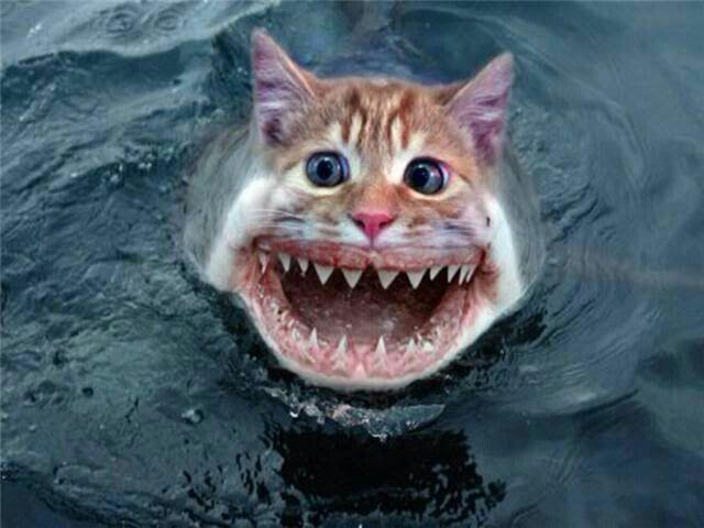 Sharkcat!!!!