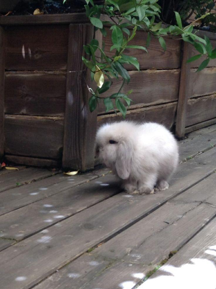 Algodón , mi conejo belier angora