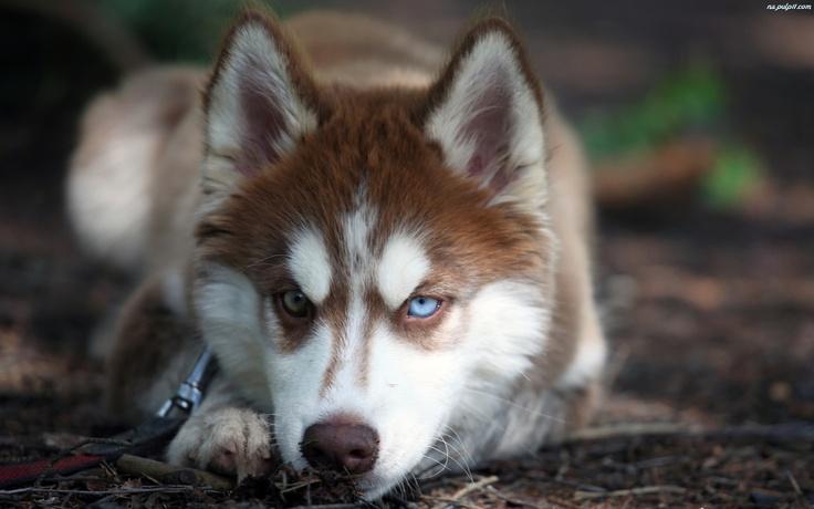 Beautiful, bi-eyed, copper Husky | aminals | Pinterest ...