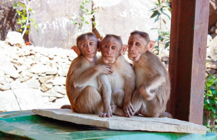 Download this free photo here www.picmelon.com #freestockphoto #freephoto #freebie /// Three Little Monkeys | picmelon