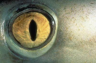 I gasped when I saw this. Eye of the blacktip shark. Photo: © Doug Perrine  http://www.sharkinfo.ch/index_e.html