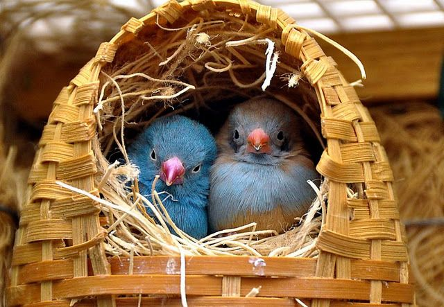 how Sweet! Cordon Blue Finches in Wicker Nest. Male is blue. Female is blue and tan.