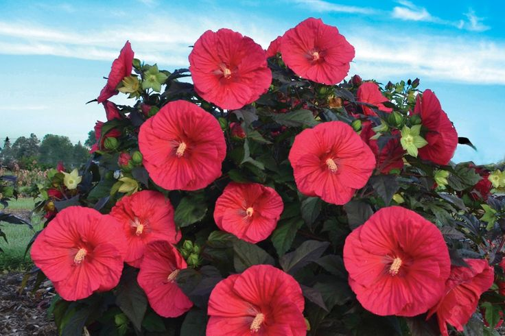 We Love 'Mars Madness' Hardy Hibiscus on http://www.hortmag.com