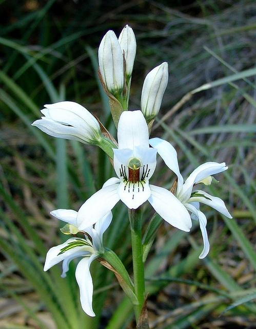 Chloraea sp. Chile.