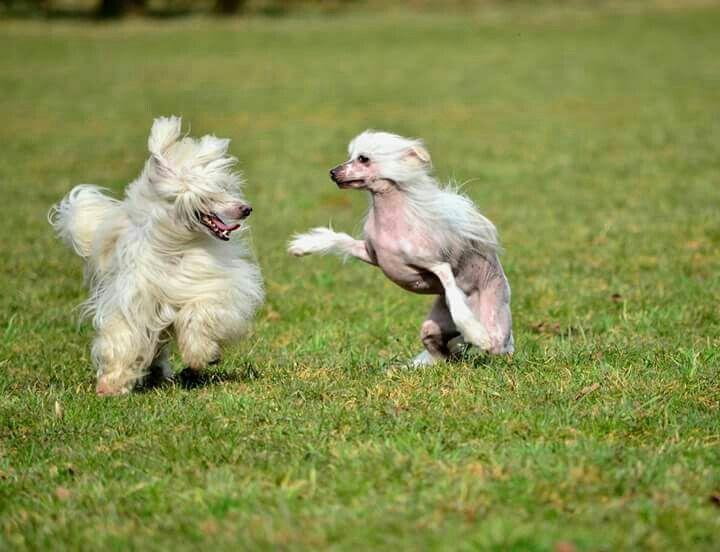Chinese crested dog  BAY 💗 LESTR