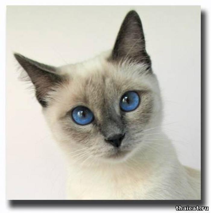 Сиамские котята от простой кошки.- фото и видео - просто сиамские ...