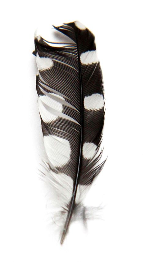woodpecker feather