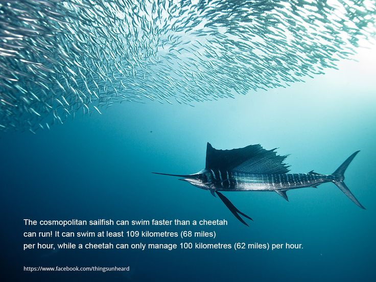 The cosmopolitan sailfish can swim faster than a cheetah can run! It can swim at least 109 kilometres (68 miles) per hour, while a cheetah can only manage 100 kilometres (62 miles) per hour.