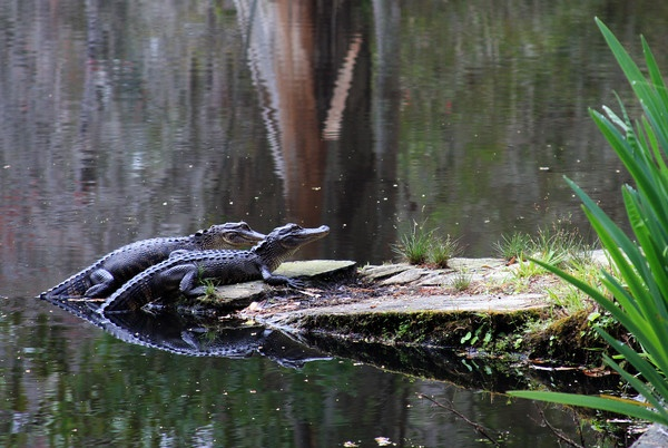 Baby Gators...better watch out for mama! Magnolia Plantation Gardens, Charleston, SC