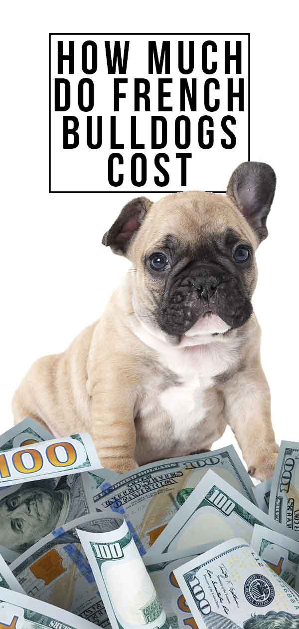 How Much Do French Bulldogs Cost Will This Breed Break The Bank French Bulldog Cost French Bulldog French Bulldog Puppies