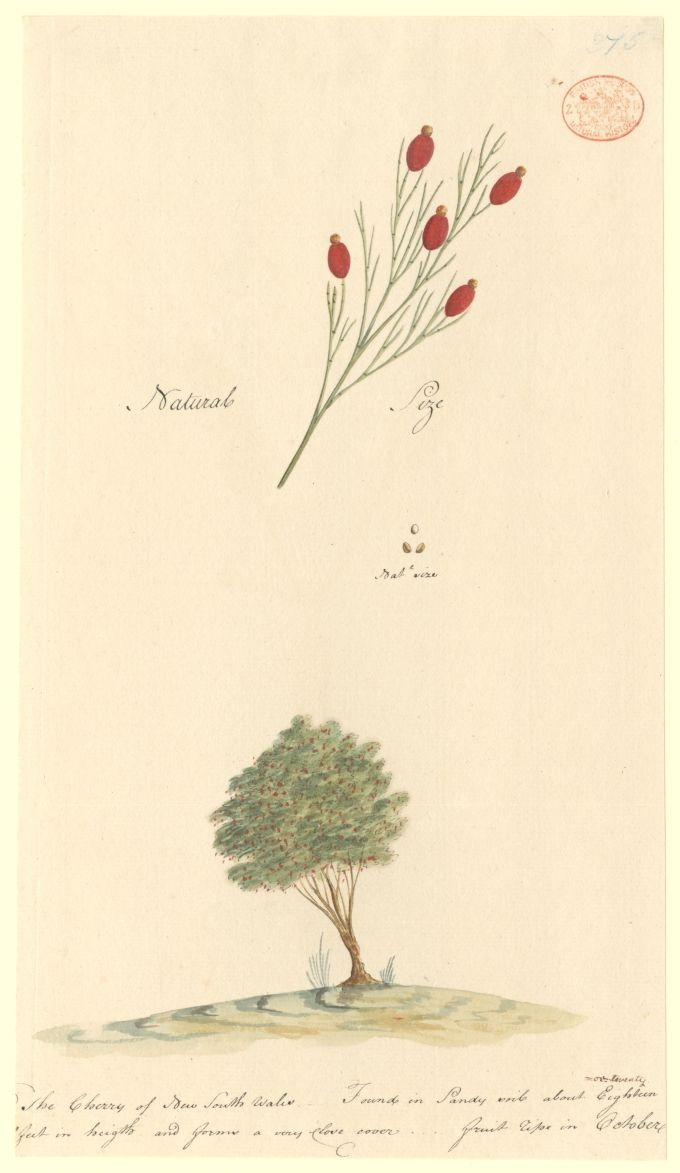 The Cherry of New South Wales