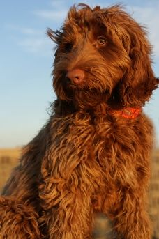 Aussie Labradoodle - I love this guy's eyes.