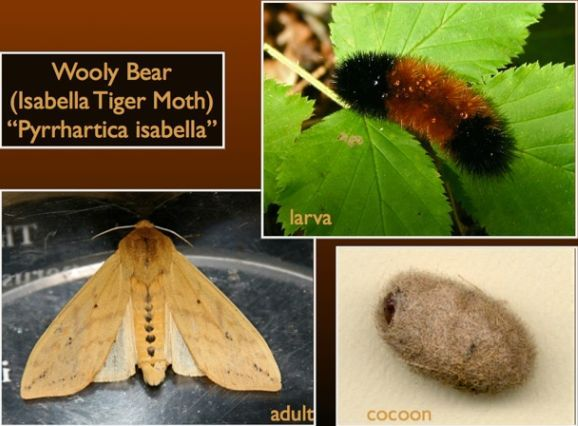 The Wooly Bear Caterpillar is the larval form of the Isabella Tiger Moth. The larva goes through an overwintering process in which it freezes solid, only to emerge in the Spring to begin the transformation into a full-grown moth. Photos by Chuck Tague. (Oct. 2013)