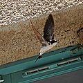 Hirondelle de fenêtre • Delichon urbica • Famille des Hirundinidae