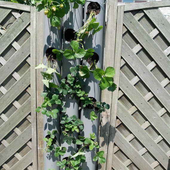 aardbei kweken, verticaal tuinieren, eetbare afscheiding