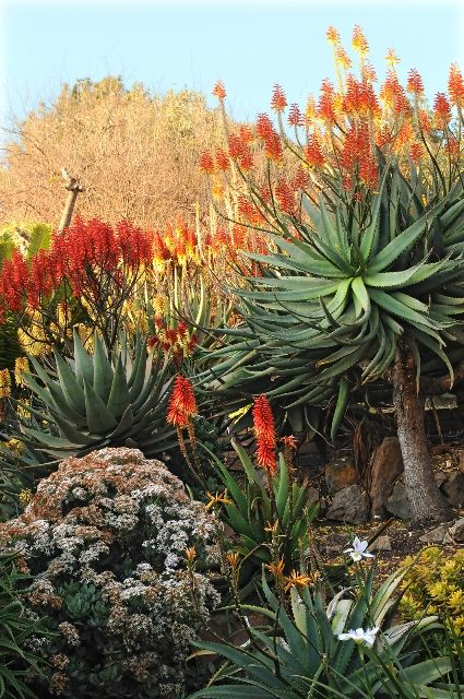 Aloes - Tours du Cap