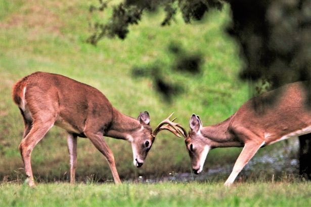 """Free image of """"Two Young Buck Deer Playing"""" by Sheila Brown in 2020 