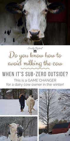 How to avoid milking your cow when it's freezing outside | holstein | family dairy cow | farm to table | sustainable living | homesteading | fresh milk