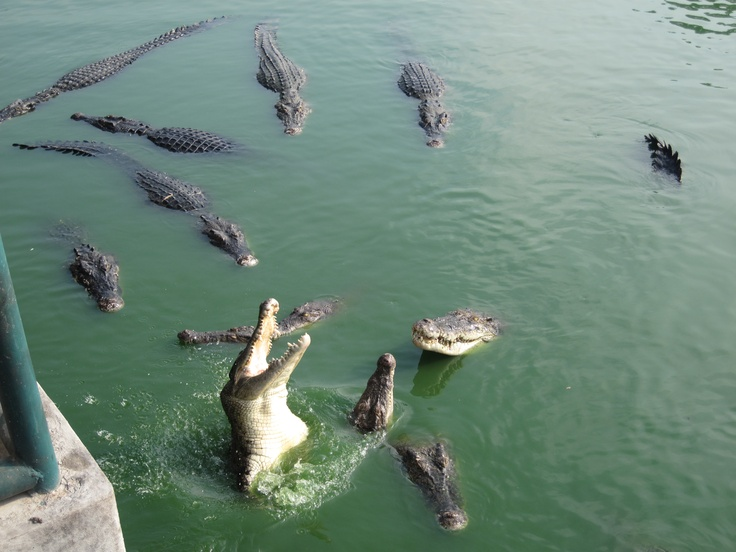 Crocodiles Pattaya Thailand