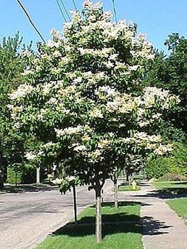Ivory Silk Japanese Tree Lilac Gardening Pinterest
