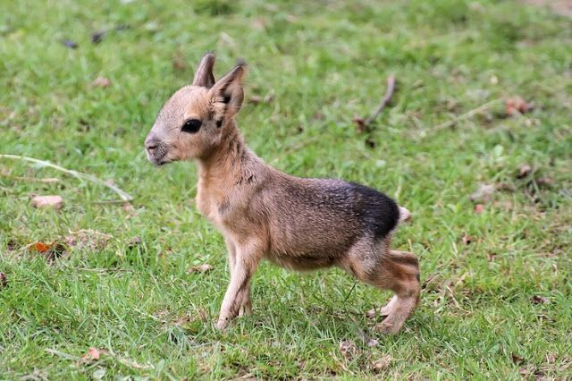Patagonian mara: These cute rodents look like a cross between a deer and a rabbit. They live in Argentina and form monogamous pairs, and closely resemble their cousin the capybara.