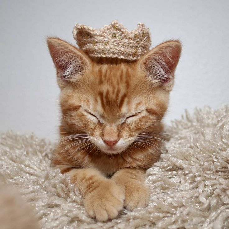 "10.5k Likes, 60 Comments - Sheila (@love2foster) on Instagram: ""Even the king must nap. Crown made by @bundle.up.by.patti #fosteringsaveslives #fosterkitten…"""
