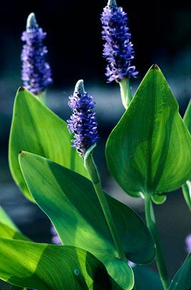 Ponteria cordata - Pickerel weed. A marginal to 1.2m tall with erect lance-shaped or ovate bright green leaves to 18cm in length on tall stems with spikes to 15cm in length of small blue flowers in late summer