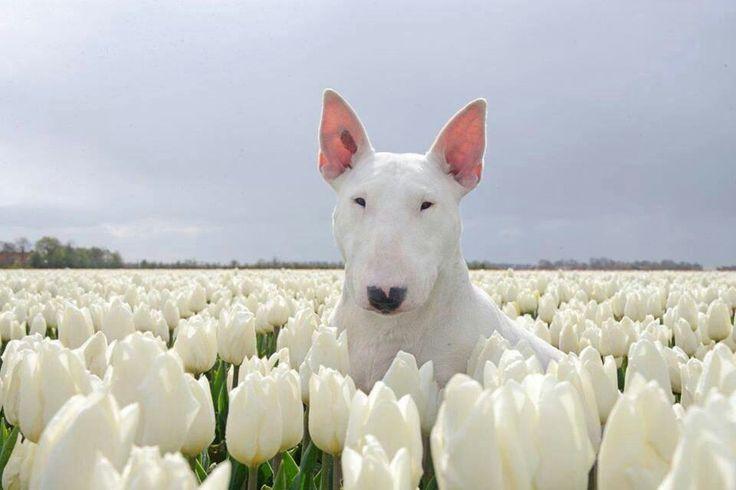Bull terrier amongst the tulips.