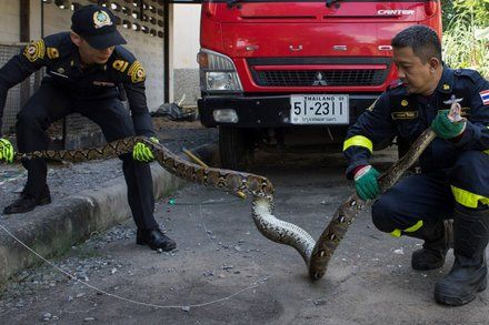 Teaching Activities for: Lurking in Toilets Swimming the Streets: Snakes of Bangkok Move In