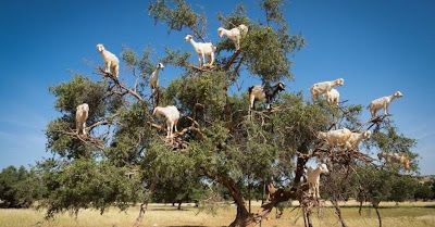 Latest Amazing Facts: Tree Climbing Goats