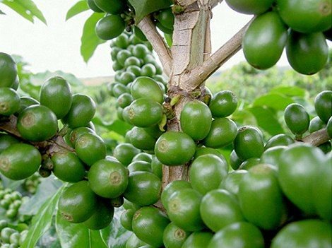 Green Coffee: Works in two ways; as a powerful anti-oxidant reducing free oxygen radicals and also aids in diminishing the appearance of dark circles.