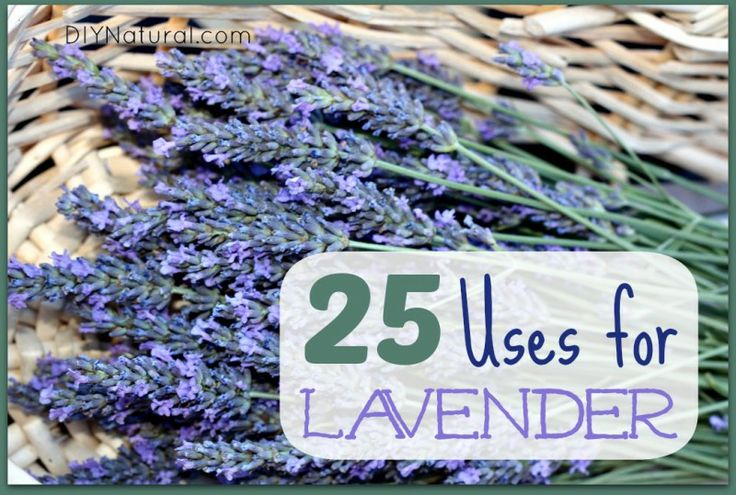 25 Ways To Use Lavender Oil and Dry Lavender – There are many lavender oil uses, not to mention the many ways to use it when dry. This article delivers 25 different ways to use lavender in all its forms.