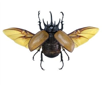 Eupatorus gracilicornis (Wings Spread)   collection ...