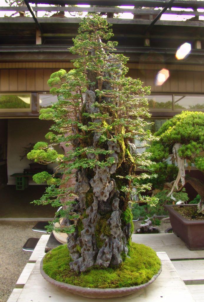 M s de 25 ideas incre bles sobre bosque de bonsai en - Arce japones cuidados ...