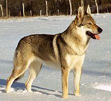 Czechoslovakian Vlcak (or Czechoslovakian Wolfdog) looks just like a wolf :)