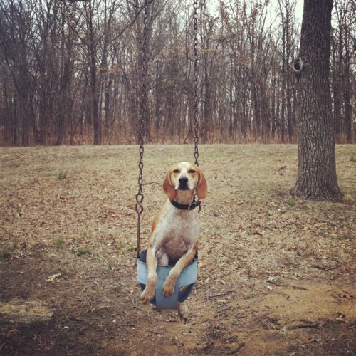 Might be fun.: Hound Dogs, Design Dogs, Little People, Swings Coonhound, Sweet Baby, Baby Dogs, Happy Dogs, Great Danes Puppies, Beautiful Dogs