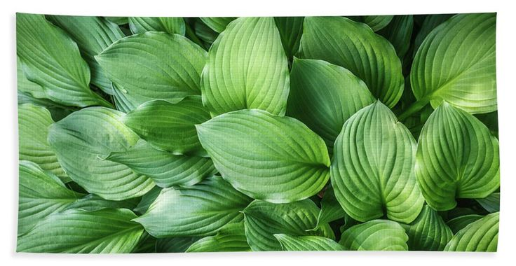 Beautiful Green Arc-shaped  Leaves Towel color, field, flora, floral, garden,  herb, leaf, leaves, macro, natural, nature, outdoor, pattern, streaks, structure, summer, texture, green leaves, carpet, green, background, arc-shaped streaks, close up, foliage, plant, botanical, garden, park, bath, bathoom, shower,  home, decor, comfort, interior, gift, towel,  fineartamerica, pixels, summer, beach, vacation, rest, travel, sunbathing, swimming