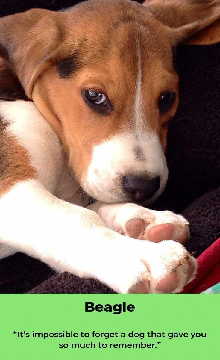 Everything About The Friendly Beagle Puppies Temperament