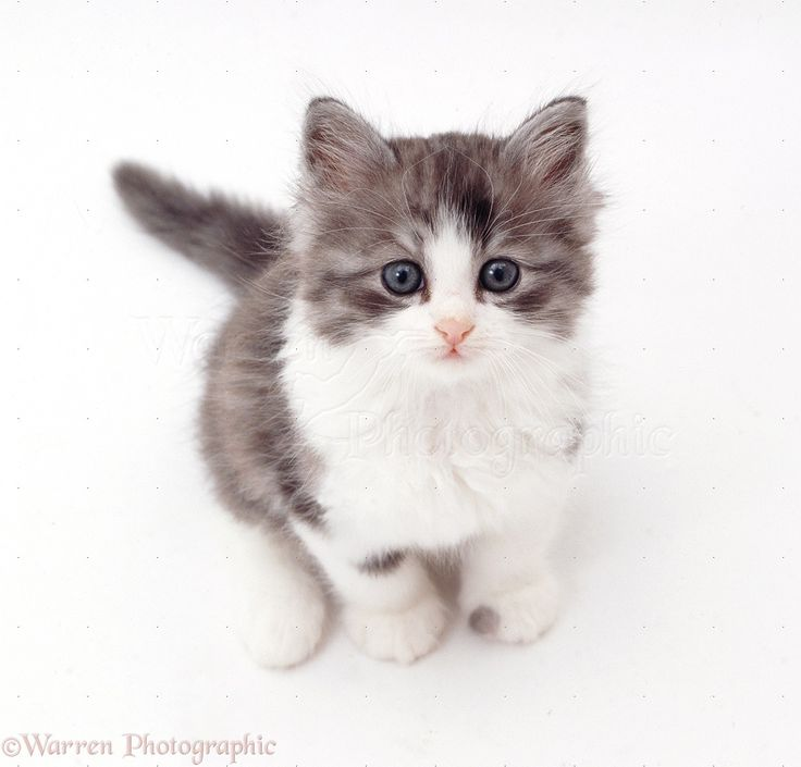 grey and white kitten - Google Search