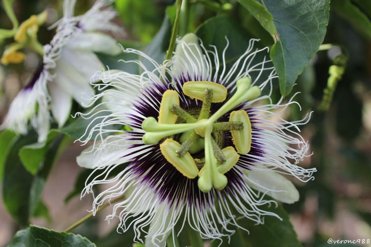 Fleur de fruit de la passion ou pomme-liane