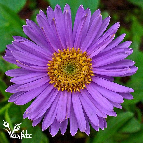 SUMMER ASTERS - Are a beautiful splash of various colours.