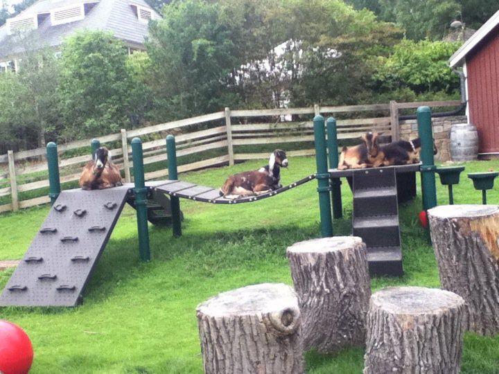 goats like to play on playgrounds tooo.
