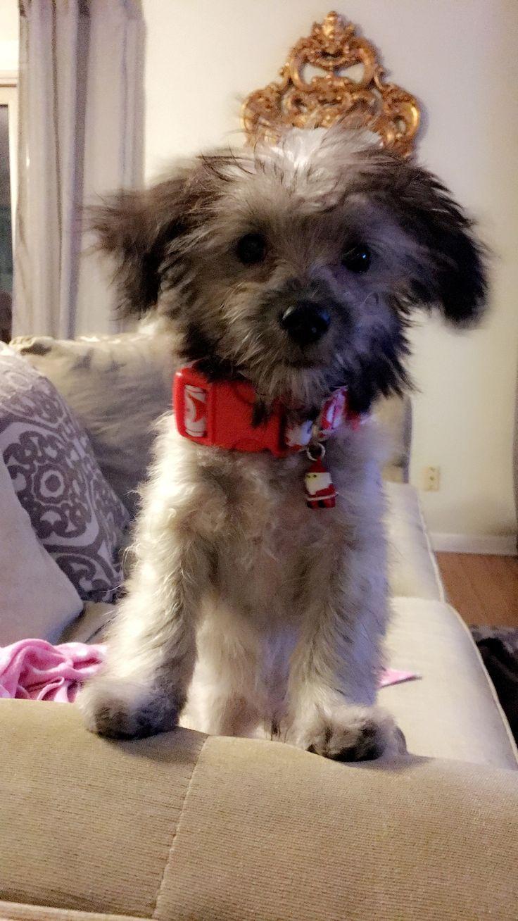 Mejores 13 imágenes de Our Puppies en Pinterest   Cachorros, Caniche ...