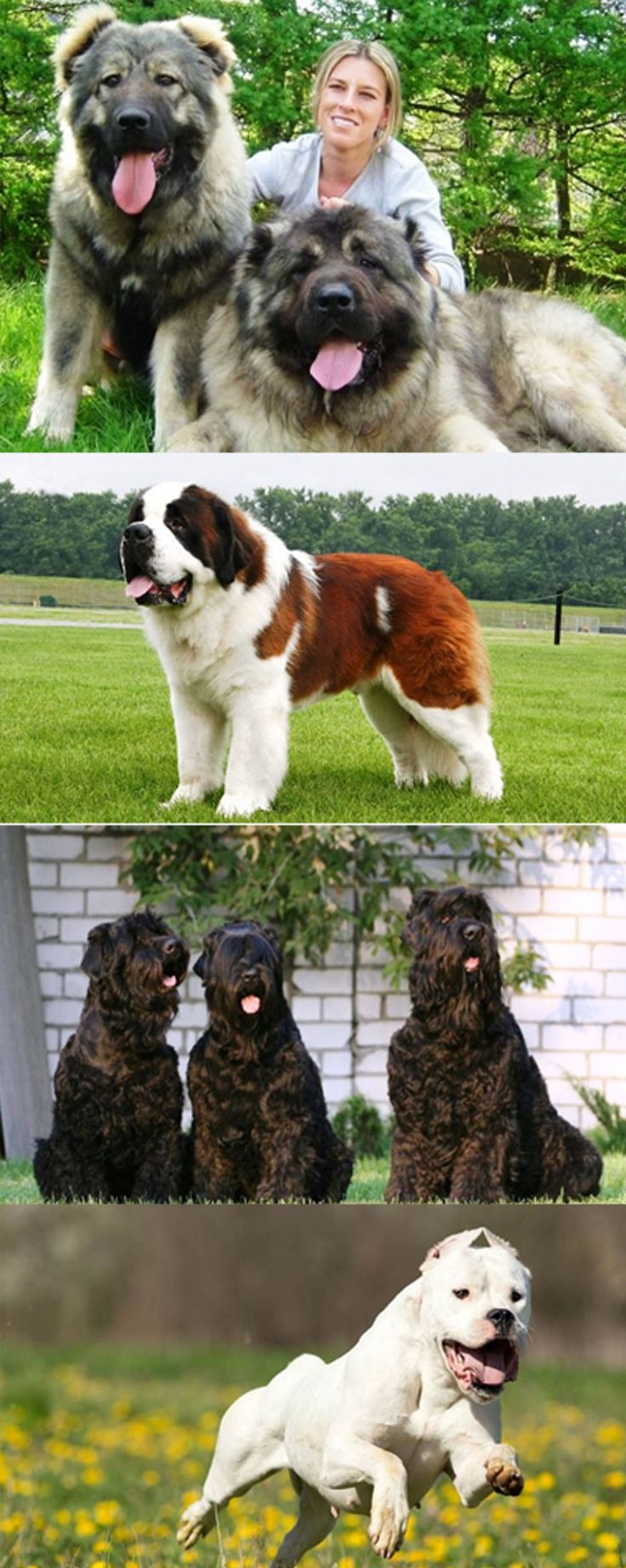 25 Of The World's Largest Dog Breeds You'd Wish You Own