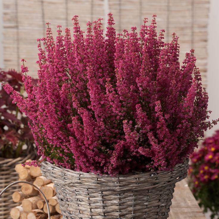 Erica gracilis - Cape heather - Dobbies Garden Centres