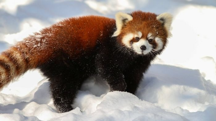 Is the Red Panda a Cat, Bear or Raccoon?