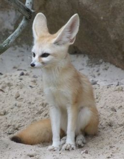 10 best images about Fennec Fox on Pinterest | Eyes, Tall ...