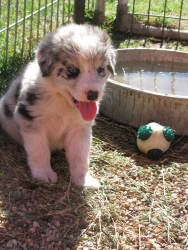 Casper is an adoptable Australian Shepherd Dog in Lubbock, TX. Casperand his littermates came to the Haven in September 2012.Casper is very sweet and will end up being a longer-haired Aussie mix. ...